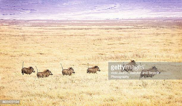 line of warthogs running in grass at ngorongoro crater, tanzania, africa - facocero foto e immagini stock