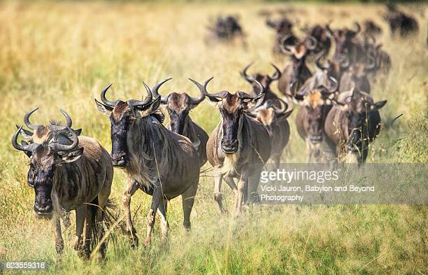 Line of Wildebeest Marching Toward the Camera