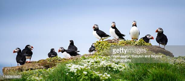 line up of atlantic puffin at grimsey island, iceland - rookery stock pictures, royalty-free photos & images