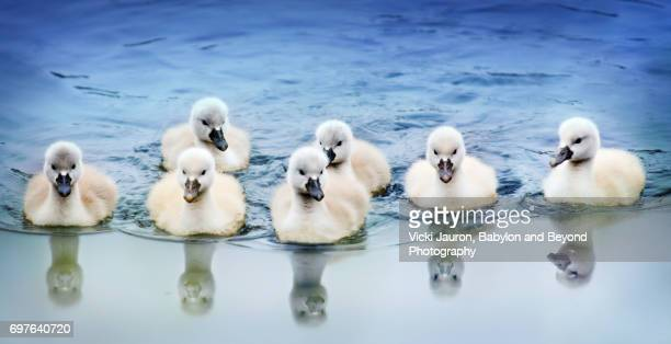 Line Up of Seven Swan Cygnets and Reflections