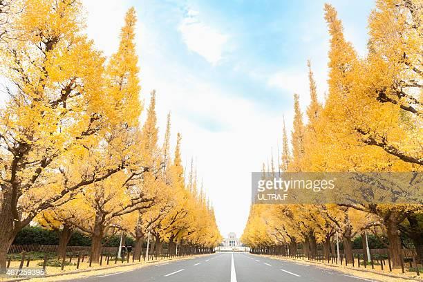 lined gingko biloba trees at Gaienmae in fall