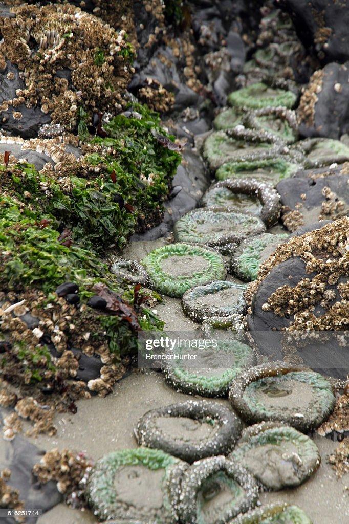Lines of Anemones : Foto de stock