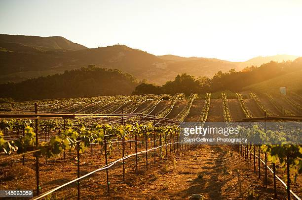 lines of vnes - sonoma county stock pictures, royalty-free photos & images