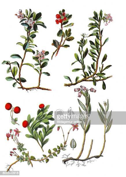 Lingonberry partridgeberry Vaccinium vitisidaea kinnikinnick pinemat bearberry manzanita Arctostaphylos uvaursi small cranberry Vaccinium oxycoccos...