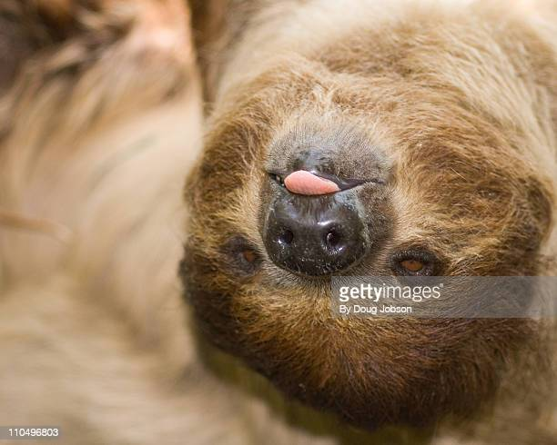 Linnaeus's Two Toed Sloth, Rasping