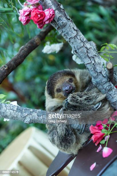 Linne's twotoed sloth attends the 50th Anniversary Beastly Ball at the Los Angeles Zoo on May 20 2017 in Los Angeles California