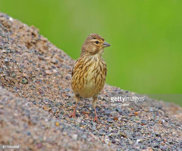 linnet [carduelis cannabina] - road salt stock pictures, royalty-free photos & images