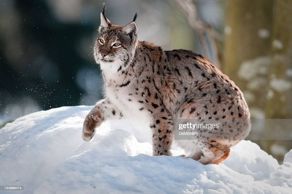 Linx : Stock Photo