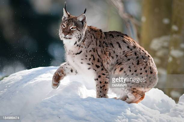 linx - lynx stock photos and pictures