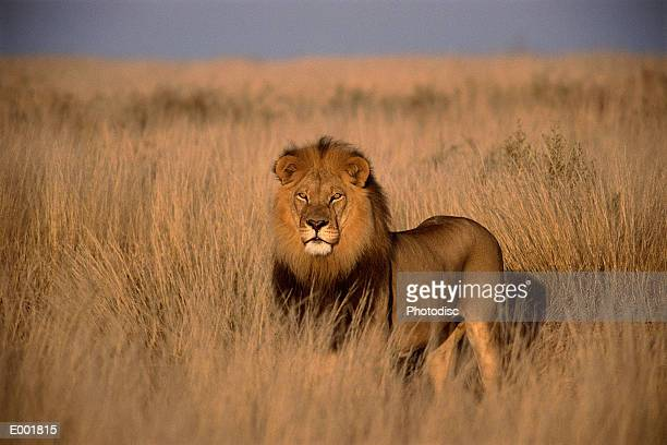Lion (Panthera leo), adult male, standing on savanna