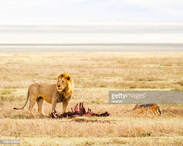 Lion & Prey in the Serengeti