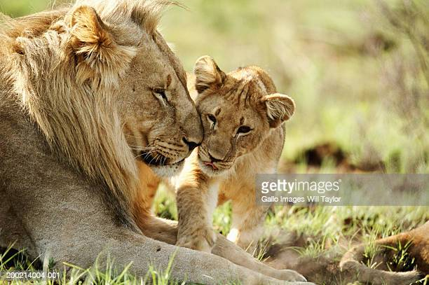 Lion and cub (Panthera leo) in field, close-up