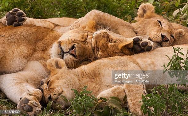 Löwe und cubs ruhen in einem heap in die Serengeti National