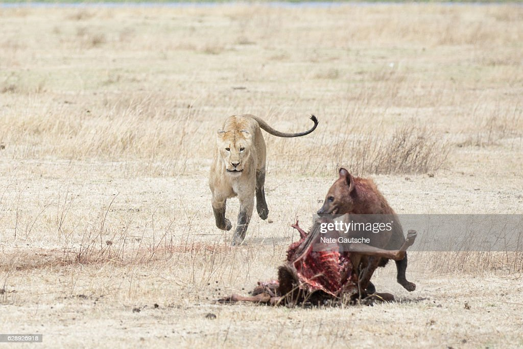 Lion and Hyena Fighting over kill in Ngorongoro Crater Tanzania : Stock Photo