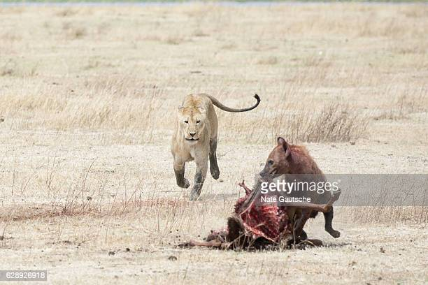 Lion and Hyena Fighting over kill in Ngorongoro Crater Tanzania