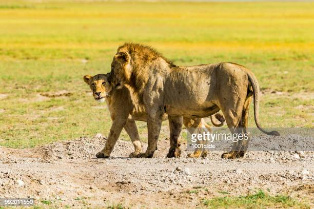 lion and lioness at savannah - whispering - amboseli stock photos and pictures