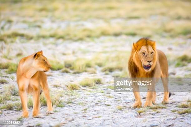 lion and lioness at wild - filtered - lion feline stock pictures, royalty-free photos & images