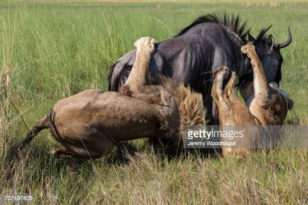 lion and lioness attacking wildebeest - endopack stock pictures, royalty-free photos & images