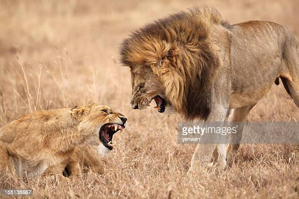 lion and lioness fighting - fight stock photos and pictures