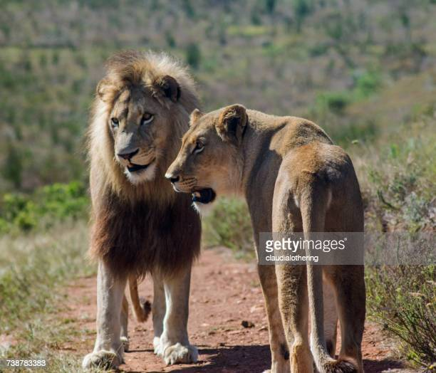 Lion and Lioness, Limpopo, South Africa