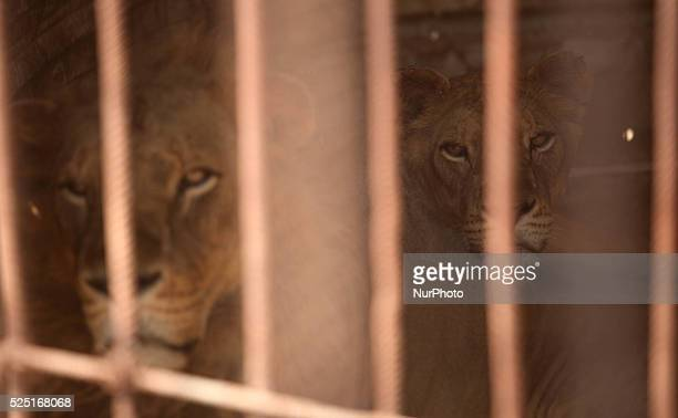 A Lion and lioness look on from inside their cage at the Bisan City tourist village zoo in Beit Hanun on August 17 2014 The zoo part of AlBisan City...