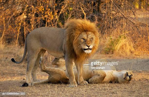 Lion and Lioness Mating, Grumeti, Tanzania