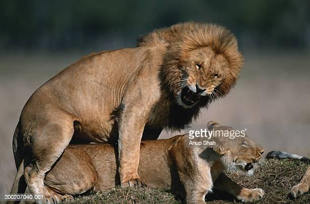 Lion (Panthera leo) and lioness mating ,Masai Mara, Kenya