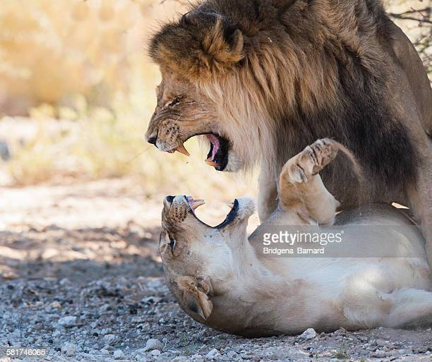 lion and lioness mating, south africa - maltrato animal fotografías e imágenes de stock