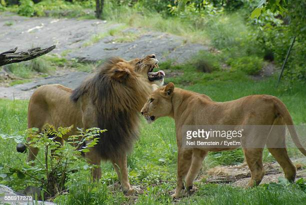 Lion And Lioness On Field