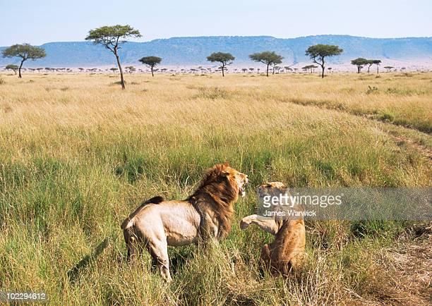 Lion and lioness quarrelling