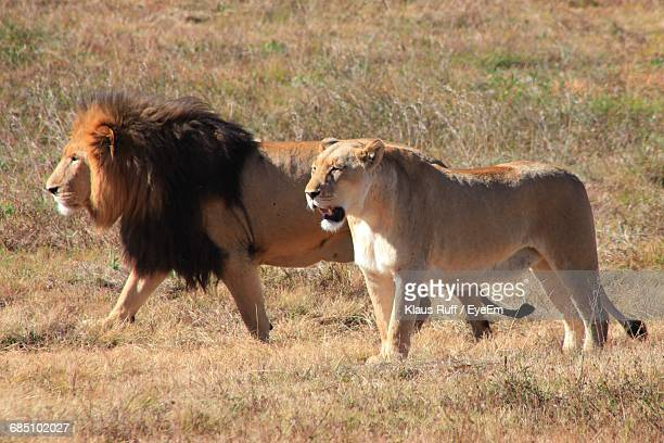 Lion And Lioness Walking On Field During Sunny Day