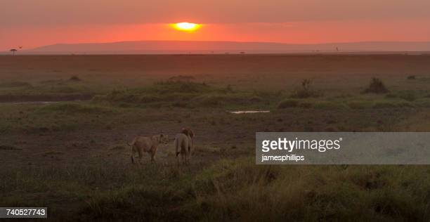 lion and lioness walking towards the sunset, maasai mara, kenya - male animal stock pictures, royalty-free photos & images