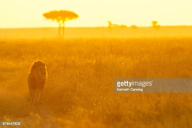 Lion and Morning Light on the Serengeti