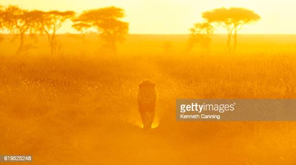 lion and morning light on the serengeti, tanzania africa - lion stockfoto's en -beelden