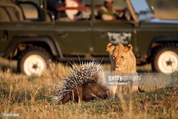 lion and porcupine, mara game reserve, kenya - istrice foto e immagini stock