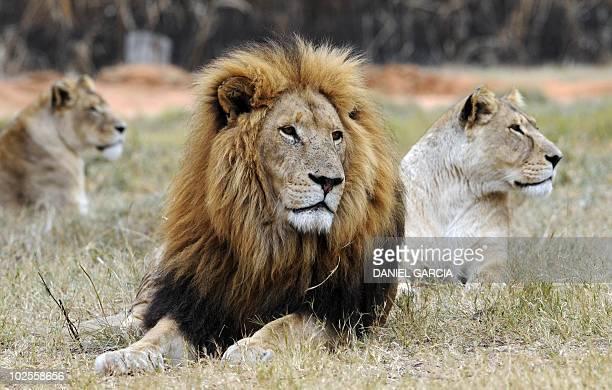 A lion and two lionesses rest at Lions Park near Pretoria on June 29 2010 AFP PHOTO / DANIEL GARCIA