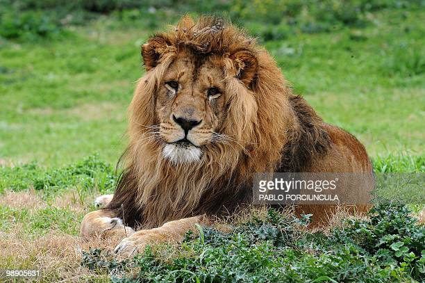 Lion Aquiles father of the four cubs bear at the Parque Lecocq zoo last May 20 in Montevideo rests on August 07 2009 After 10 years without births a...