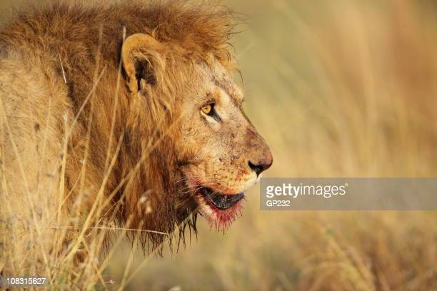 Lion at a kill