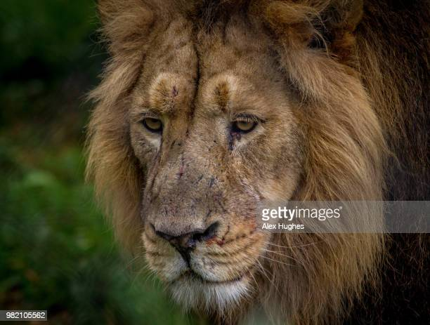 lion at chester zoo - chester zoo stock pictures, royalty-free photos & images