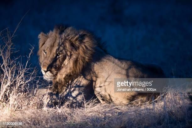 lion at dusk - 自然保護区 ストックフォトと画像