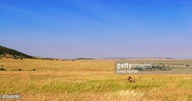 Lion at Masai Mara National Reserve