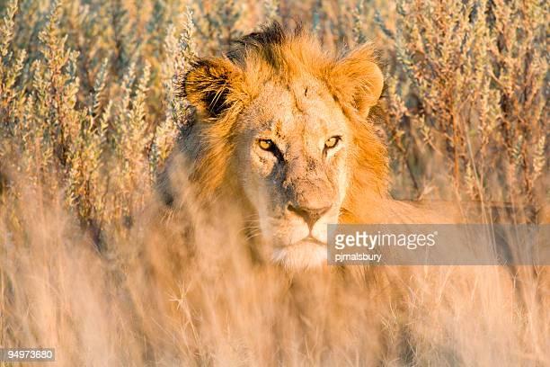 leone al tramonto - sud foto e immagini stock