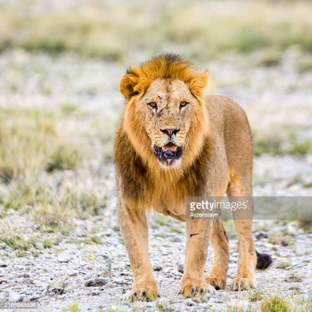 lion at wild - hunting - animal body stock pictures, royalty-free photos & images