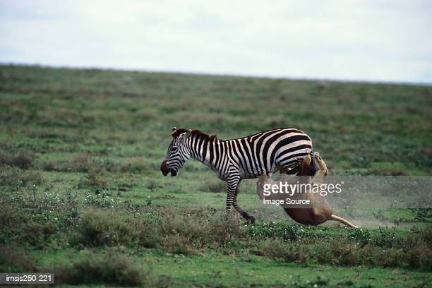 lion attacking zebra - animals attacking stock pictures, royalty-free photos & images