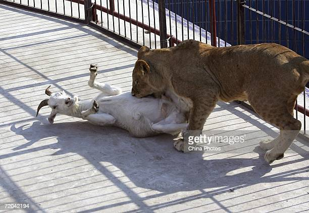 A lion attacks live prey at the Changchun Wildlife Park on September 29 2006 in Changchun Jilin Province China The park is training wild animals to...