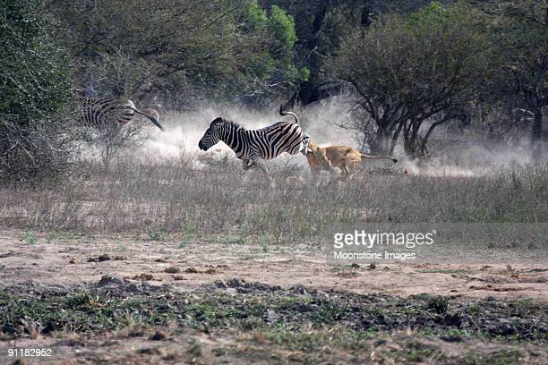 Lion attacks Zebra in Kruger Park, South Africa