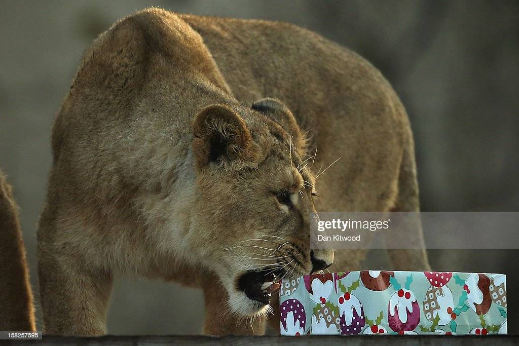 A lion bites a Christmas present at ZSL London Zoo on December 12, 2012 in London, England. Keepers at the zoo gave the some of the animals Christmas presents containing festive treats during a photocall at London Zoo.