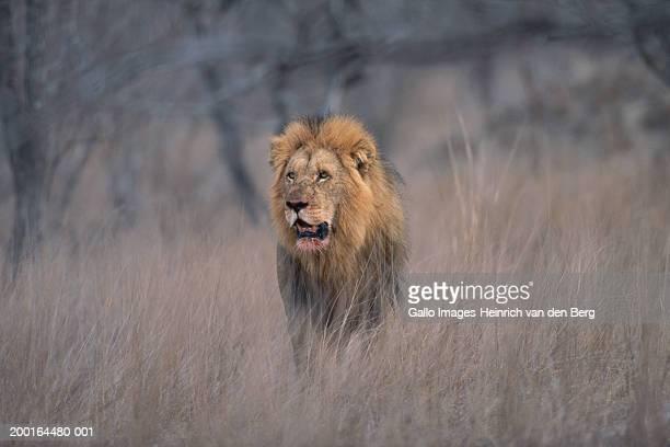 Lion (Panthera Leo), bloodstain on jaw