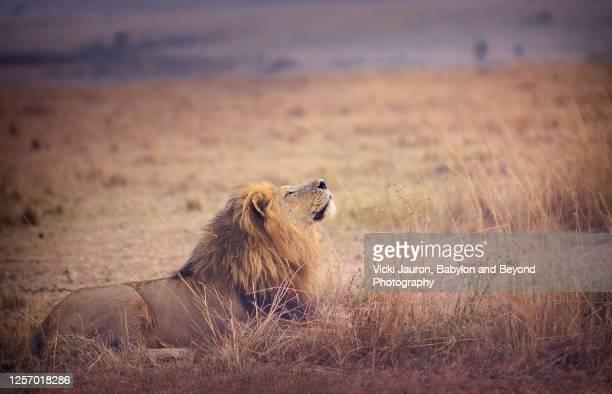 lion breathing in the fresh air at sunrise at maasai mara, kenya - mammal stock pictures, royalty-free photos & images