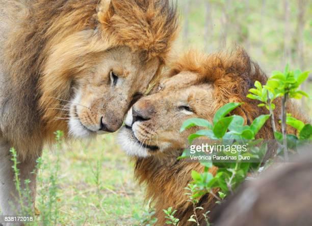 lion brotherhood - großwild stock-fotos und bilder